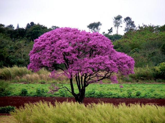 Кора муравьиного дерева: особенности, целебные качества