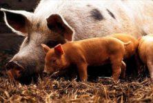 Лихорадка свиней продолжает распространяться в Восточной Европе